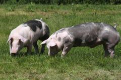Cerdos jovenes del Duroc-Jersey en el prado en el verano de la granja imágenes de archivo libres de regalías