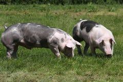 Cerdos jovenes del Duroc-Jersey en el prado en el verano de la granja fotografía de archivo libre de regalías