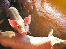 Cerdos jovenes en la granja fotos de archivo
