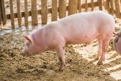 Cerdos jovenes en la granja Fotografía de archivo libre de regalías