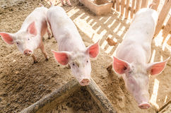 Cerdos jovenes en la granja Imagenes de archivo