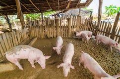 Cerdos jovenes en la granja Imágenes de archivo libres de regalías