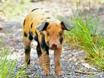 Cerdos jovenes manchados Imagen de archivo libre de regalías