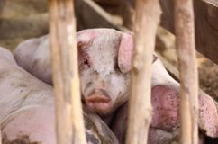 Cerdos jovenes puestos en jaula de madera Foto de archivo