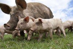Cerdos libres de la gama fotos de archivo