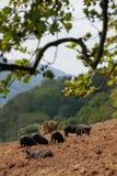 Cerdos libres del rango fotografía de archivo