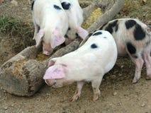 Cerdos libres del rango Imágenes de archivo libres de regalías