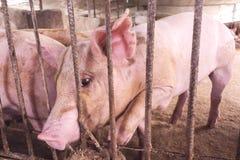 Cerdos magros en una granja Foto de archivo