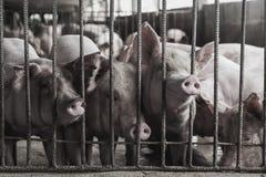 Cerdos magros en una granja Foto de archivo libre de regalías