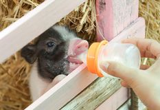 Cerdos miniatura de alimentación fotografía de archivo