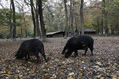 Cerdos negros en el bosque Imagen de archivo libre de regalías