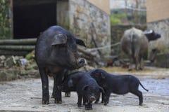 Cerdos negros en una granja fotografía de archivo libre de regalías