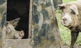 Cerdos orgánicos imagen de archivo