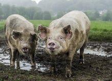 Cerdos orgánicos foto de archivo libre de regalías