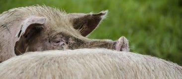 Cerdos orgánicos fotografía de archivo libre de regalías