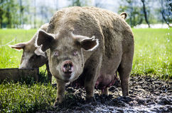 Cerdos orgánicos Fotografía de archivo