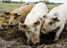 Cerdos orgánicos de la granja orgánica foto de archivo