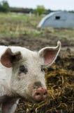 Cerdos orgánicos de la granja orgánica imagen de archivo libre de regalías