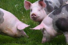 Cerdos pietrian manchados de la raza que pastan en la granja en pasto imágenes de archivo libres de regalías