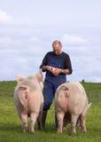 Cerdos que introducen del granjero Imágenes de archivo libres de regalías