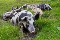 Cerdos que mienten en la hierba Fotografía de archivo libre de regalías