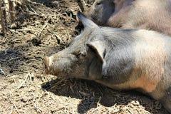 Cerdos que ponen en la suciedad y los palillos en el postre en el estado de Arizona, Estados Unidos imagenes de archivo