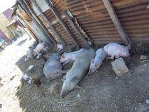 Cerdos que toman el fresco Fotos de archivo