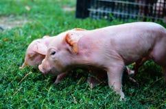 Cerdos recién nacidos curiosos en hierba verde Fotografía de archivo