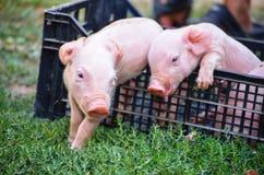 Cerdos recién nacidos curiosos en hierba verde Imagen de archivo
