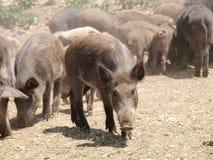 Cerdos salvajes imagenes de archivo