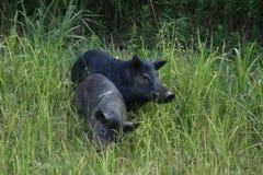 Cerdos salvajes Fotografía de archivo libre de regalías
