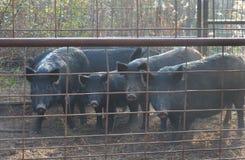 Cerdos salvajes atrapados Imagen de archivo libre de regalías