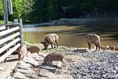 Cerdos salvajes en reserva de naturaleza Fotografía de archivo libre de regalías