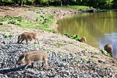 Cerdos salvajes en reserva de naturaleza Foto de archivo libre de regalías