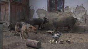 Cerdos sucios del saneamiento que comen agricultura del caos de Puppy Village Chicken Hd del pastor alemán metrajes