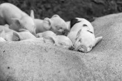 Cerdos y cerda el dormir fotografía de archivo libre de regalías