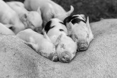 Cerdos y cerda el dormir fotografía de archivo