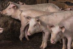 Cerdos y cochinillos en la granja Imágenes de archivo libres de regalías