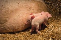 Cerdos y cochinillos en la granja Foto de archivo
