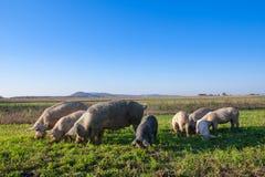 Cerdos y cochinillos que pastan foto de archivo