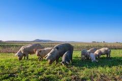 Cerdos y cochinillos que pastan foto de archivo libre de regalías