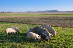 Cerdos y cochinillos que pastan imagenes de archivo