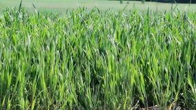 Cereais verdes no verão filme