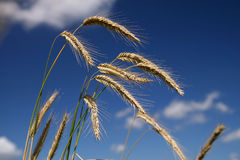 Cereal. Field, summer landscape, cloudy sky Stock Images