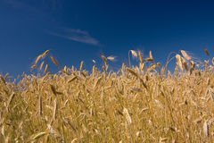 Cereal. A photo of cereal blade on a bright sunny day Royalty Free Stock Photography