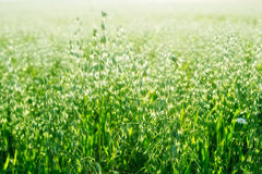 Cereal Crop. Green sprouts of oats in the morning light Royalty Free Stock Photography