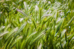 Cereal crop. Grain heads of a ripening cereal crop shine in the sun Royalty Free Stock Photography