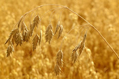 Cereal crop abstract Royalty Free Stock Photography