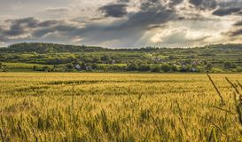 Cereal crop in agricultural landscape Stock Photo