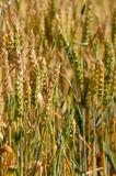 Cereal crop I Royalty Free Stock Images